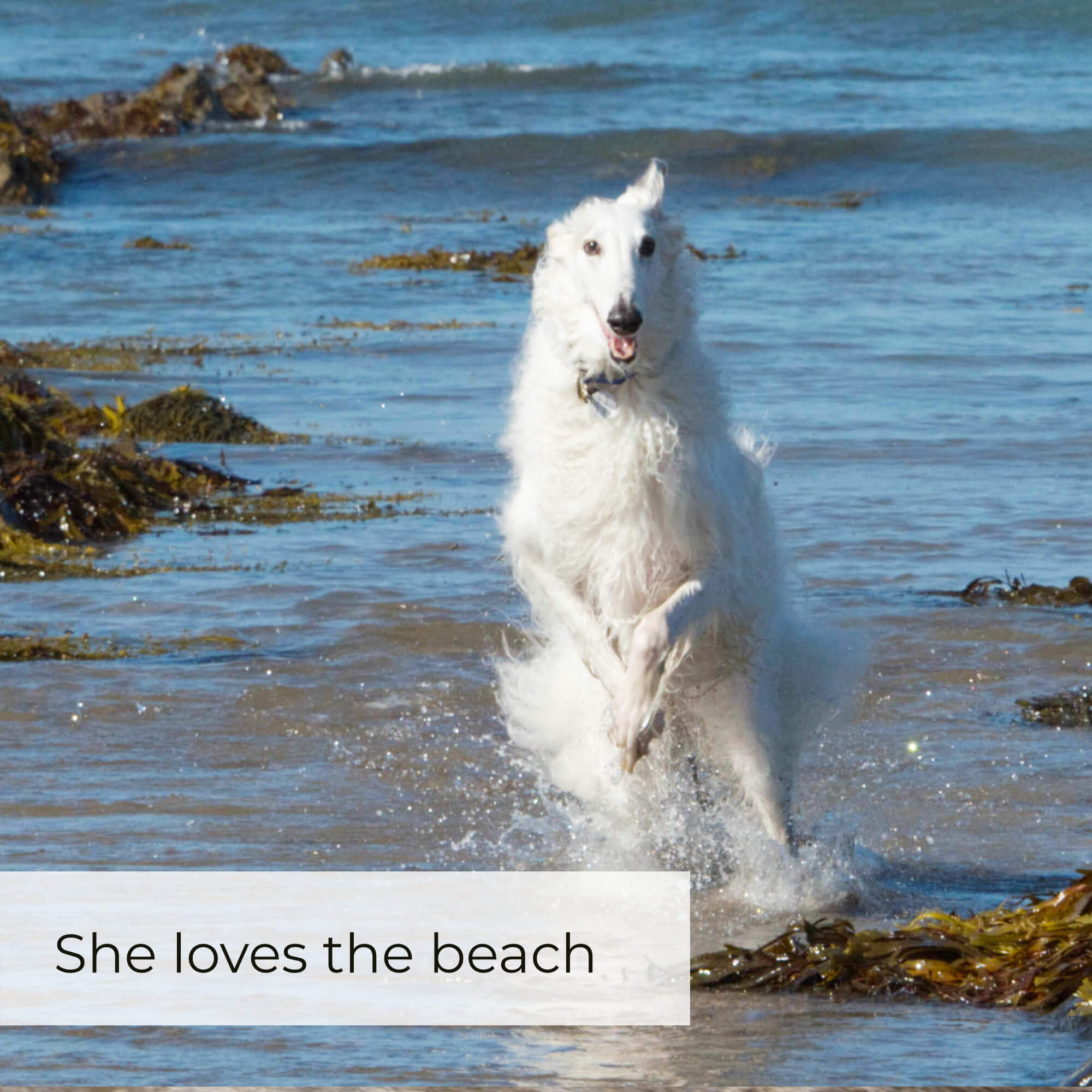 borzoi running on beach