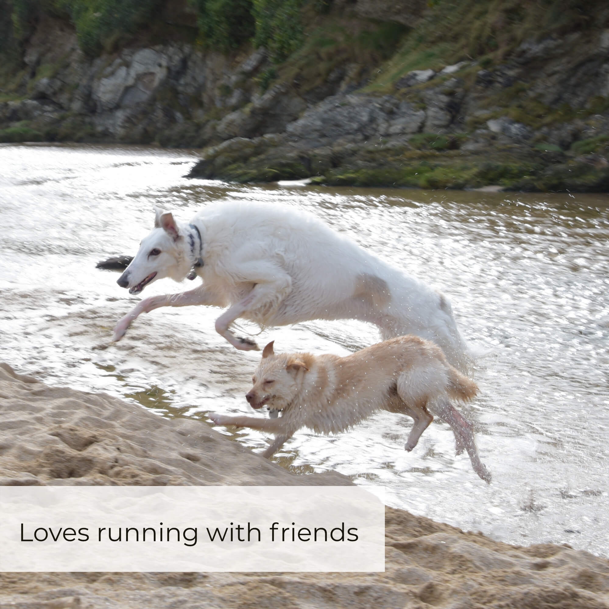 borzoi running with pack