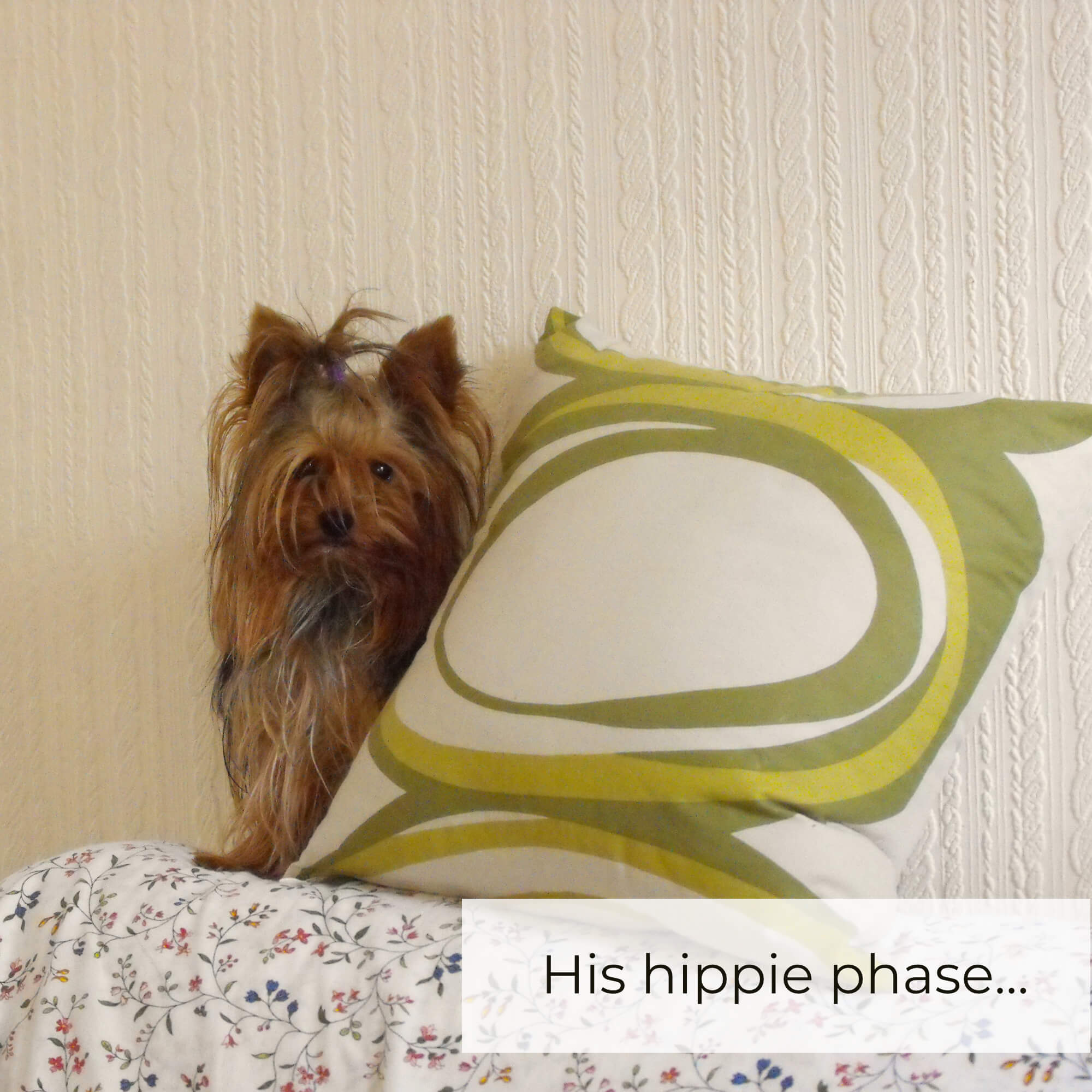 yorkie hippie long hair