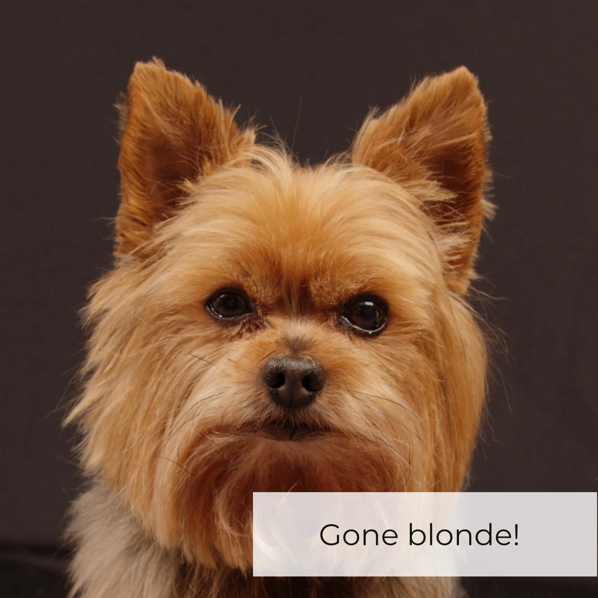 professionally groomed yorkshire terrier DOG PHOTOGRAPHER SURREY Nadina Bee