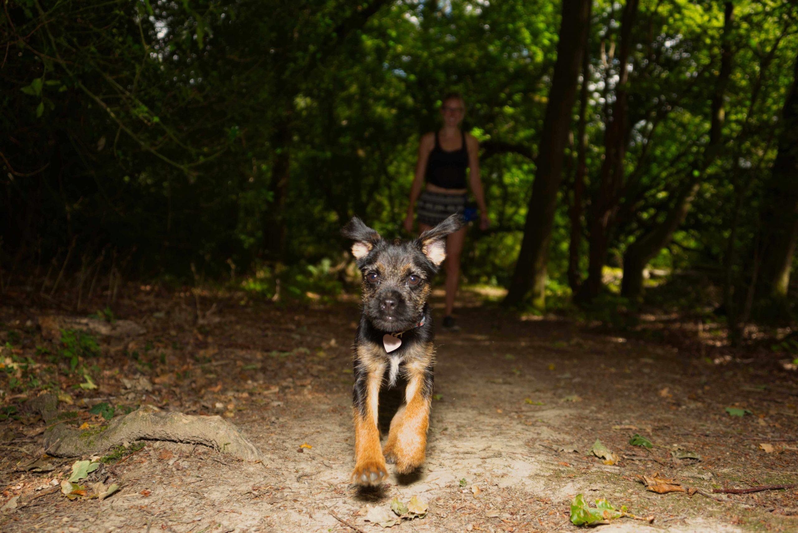 funny border terrier puppy running photo